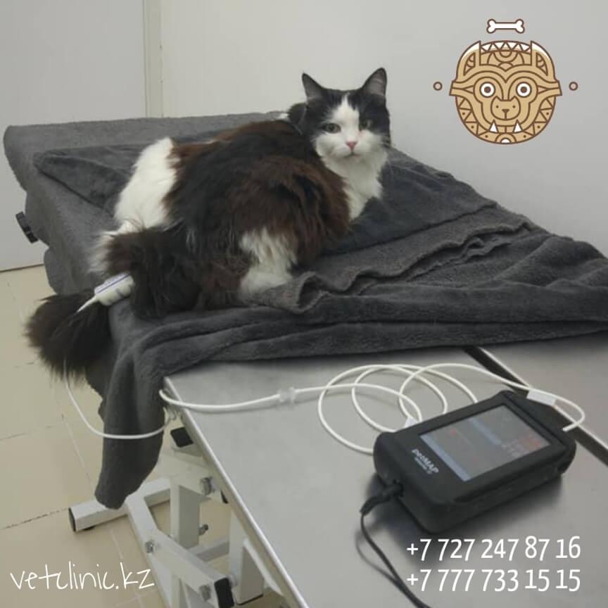 Ветеринарная клиника в Алматы: Измерение давления